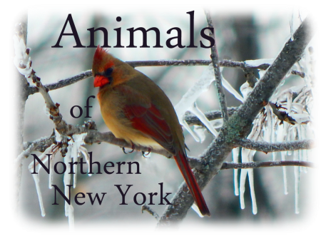 Animals of Northern New York